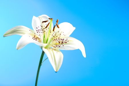 lilia: flor lirio blanco sobre fondo azul Foto de archivo