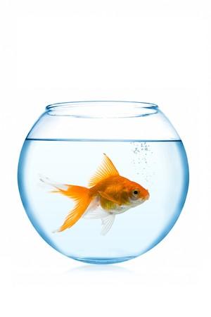 poisson rouge dans un aquarium sur fond blanc