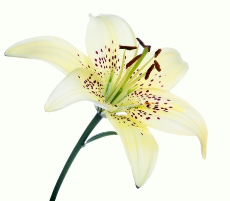 lilia: lirio de flores sobre fondo blanco