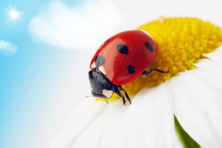 ladybug on camomile flower under blue sky photo