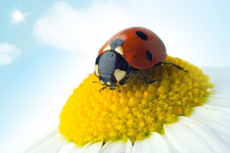 ladybug on flower over blue sky photo