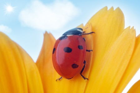 yellow flower petal with ladybug under blue sky photo