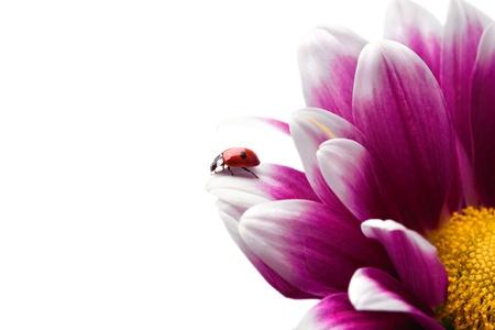 Coccinella su fiore su sfondo bianco