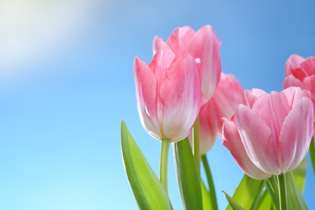 tulips flowers on blue sky and sun  photo