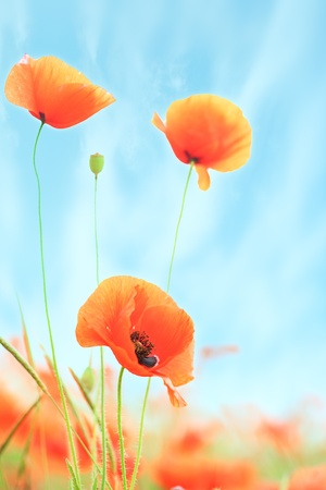 poppies on green field under blue sky photo
