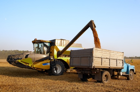 combine harvester in field wheat