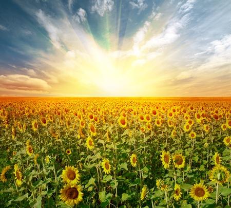 girasol: paisaje de campo de girasol en la puesta de sol Foto de archivo