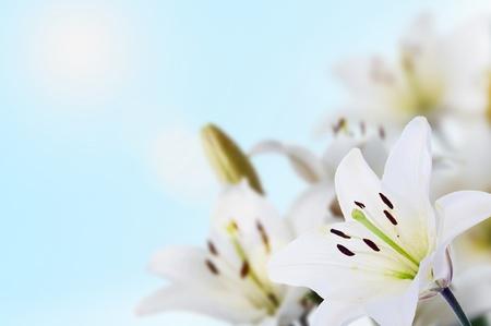 spring madonna lilies uder blue sky and sun Standard-Bild