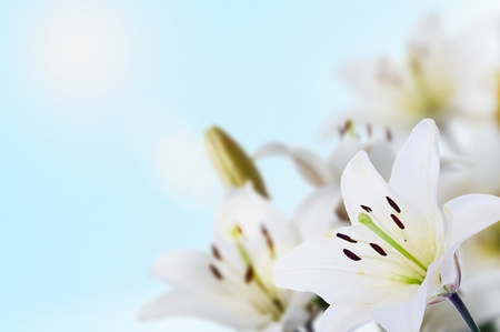 spring madonna lilies uder blue sky and sun Stock Photo