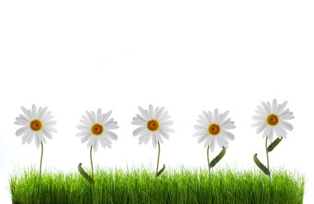 daisy in green grass over white