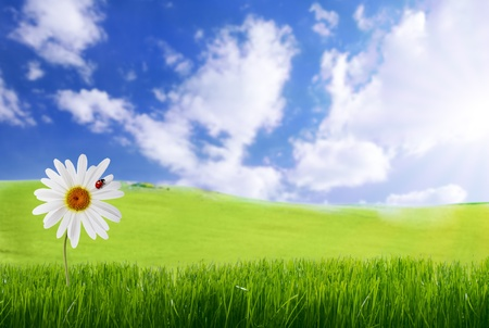 field of daisies: daisy with ladybug in green grass