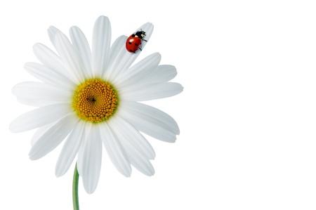 Madeliefjes met lieveheersbeestje op een witte achtergrond Stockfoto
