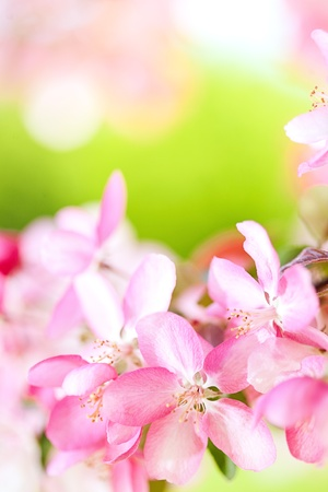 Sakura flowers blooming. Beautiful pink cherry blossom  Stock Photo - 13339549