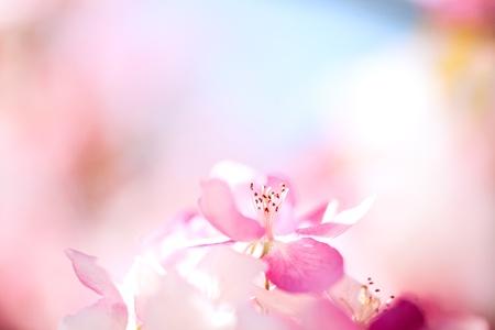 flor cerezo: Sakura flores floreciendo. Hermosa rosa flores de cerezo