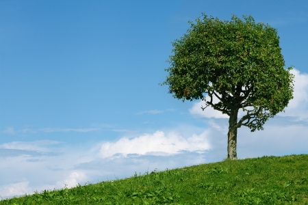 tall tree: one tree in field and blue sky