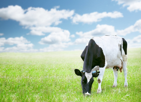 country western: Cows in green field under blue sky