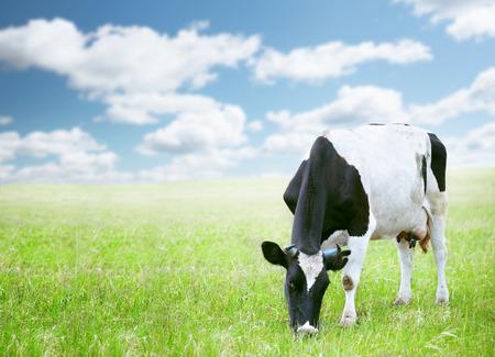 Cows in green field under blue sky