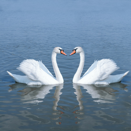 couple swan in water pond Stock Photo
