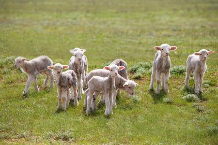 bleating: little lamb in green field