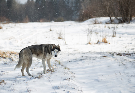 snow forest: husky dog in winter forest Stock Photo
