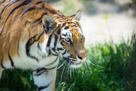 tigresa: tigre en el bosque en la hierba verde