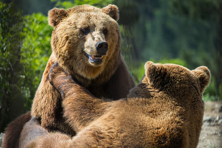 alaskan bear: Bear in the forest Stock Photo