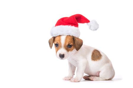 rape: Jack Russell Terrier cachorro en el casquillo rojo de Santa aislado en el fondo blanco