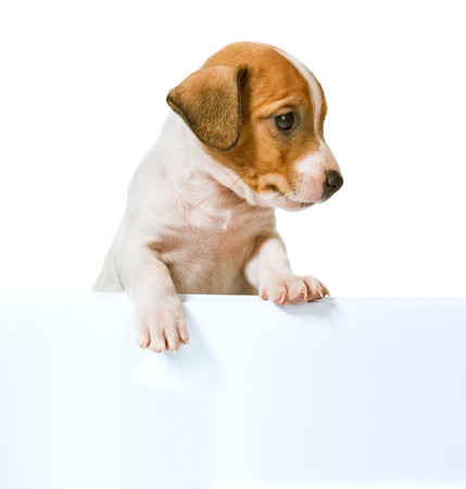 whitw: Jack Russell Terrier puppy with white poster for inscription  isolated on white background Stock Photo