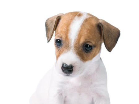 jack russell terrier puppy: Jack Russell Terrier puppy isolated on white background Stock Photo