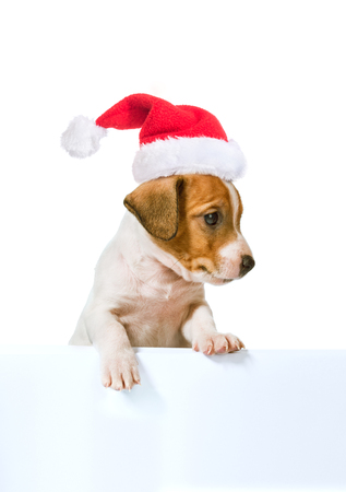 jack russell terrier puppy: Jack Russell Terrier puppy in red santa cap with white poster for inscription  isolated on white background