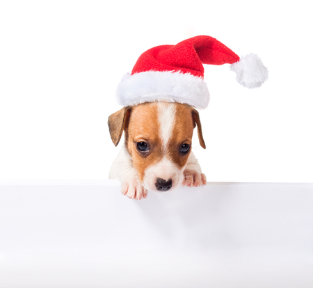whitw: Jack Russell Terrier puppy in red santa cap with white poster for inscription  isolated on white background