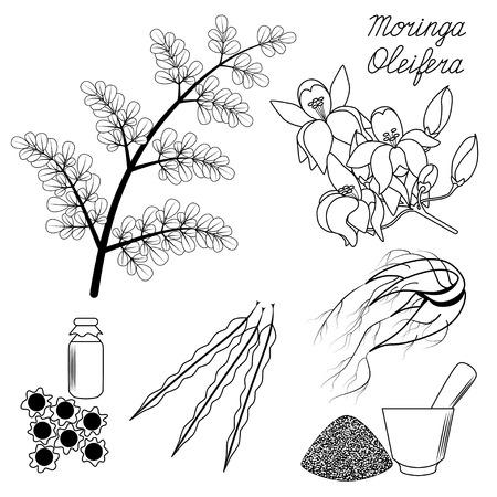 oleifera: Superfood Moringa. Set of leaves, flowers, seeds and root on isolated background.