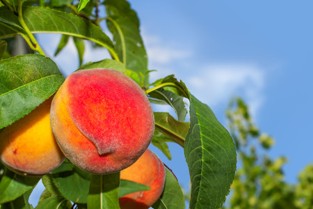 A bunch of 3 juicy organic peaches on a tree, blue sky and a copy space  Bright colors  Stock fotó