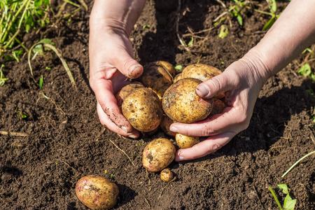 manos sucias: Manos femeninas que cosechan nuevas patatas frescas de suelo en la granja