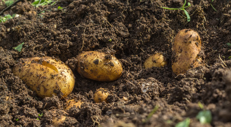 potato field: Fresh organic potatoes in the ground harvesting
