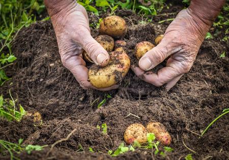 vegetable garden: Male hands harvesting fresh organic potatoes from soil, working hands