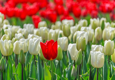 standout: Tulips in the park close up