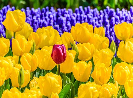 standout: Tulips garden close up Stock Photo