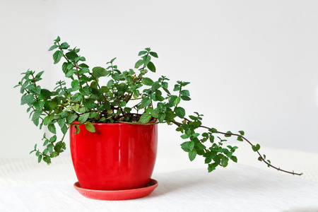 Keeping it fresh, green mint plant in a red pot over white