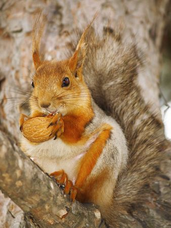 genera: squirrel with a nut on a branch
