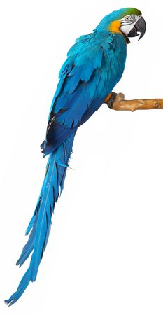 macaw: colorful parrot isolated in white background