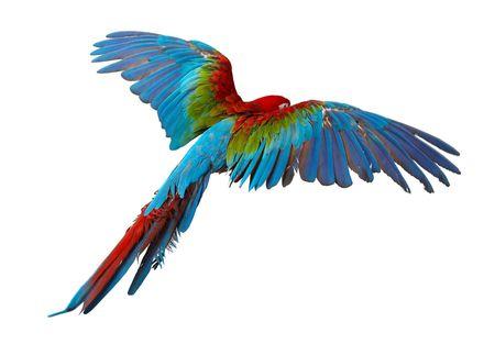 papagayo: colorido loro aislados en fondo blanco