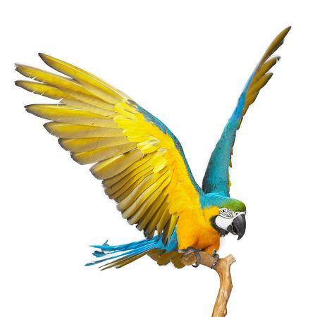 parrot: kleurrijke papegaai afgezonderd in een witte achtergrond Stockfoto