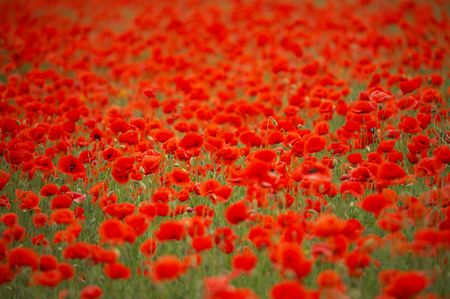 herbage: Field of red poppies