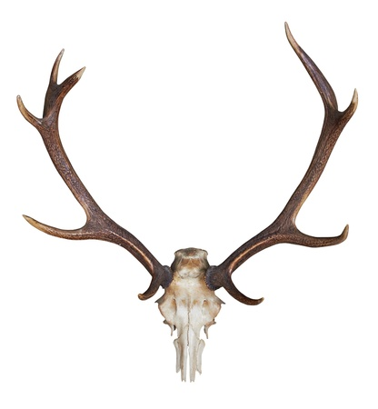 antlers of a huge stag isolated on white background Stock Photo