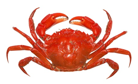 cangrejo: Aisladas sobre fondo blanco de cangrejo rojo