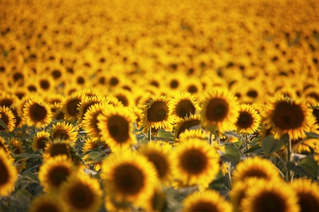 Field of flowers of sunflowers photo