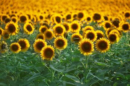 sunflower field: Field of flowers of sunflowers