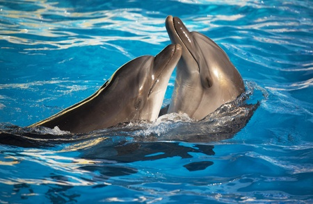 Un par de delfines bailando en la luz azul del agua