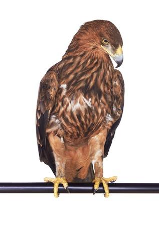 predatory: Eagle isolated on white background